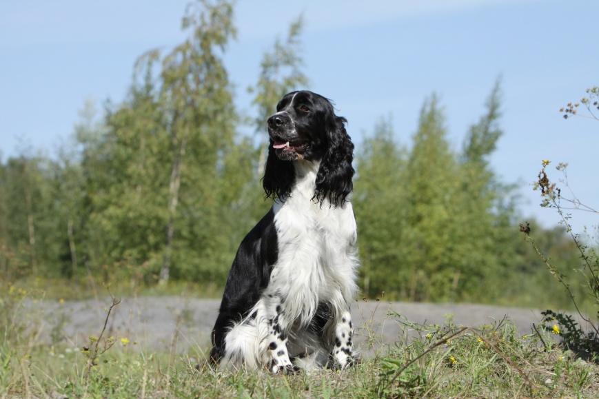 chien de chasse noir et blanc assis de face
